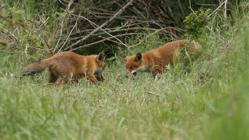 A vixen Red Fox and her cute cubs, Vulpes vulpes, are feeding at the entrance to their den. A few scuffles break out over the food. | Shutterstock HD Video #1030693403