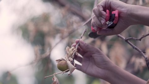Asian woman hands are cutting dead dry lemon branches due to disease caused by lemon trees.