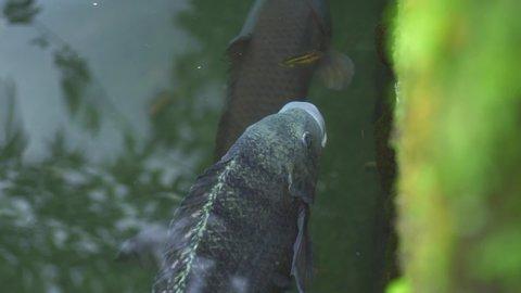 Fish carp koi swimming in transparent water in garden pond. Close up japanese carp koi swimming in decorative pond at summer garden