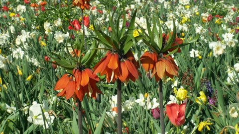 Crown imperial or imperial fritillary Fritillaria imperialis ornamental plant, lily family flower, blooming red expressive flowers, cultivated varieties and cultivars for garden and gardening