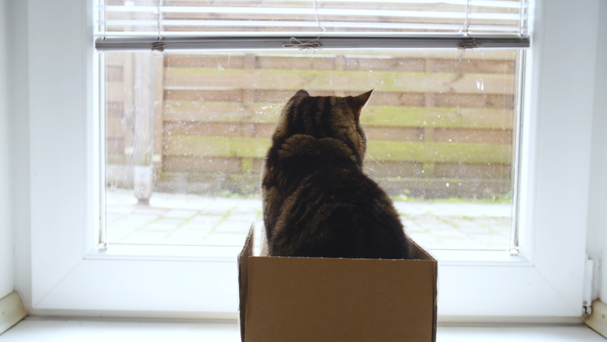 Cat out of the box watchdog looking outside 4K | Shutterstock HD Video #1031108603