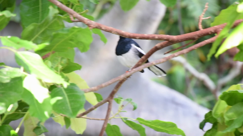 Oriental Magpie Robin (Copsychus saularis) - a black and white bird from the Muscicapidae family - perched on a tree in the rainforest in East Asia.  | Shutterstock HD Video #1031136443