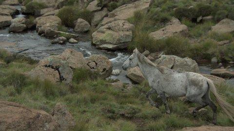 White horse running by a stream in the Drakensberg