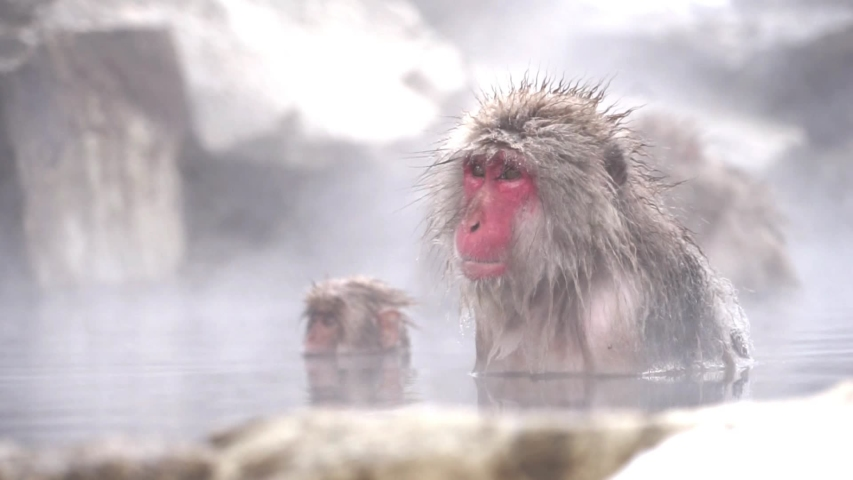 Japanese Snow Monkey or japanese snow macaque monkeys, The wild native japan monkey bathing in the onsen hot spring in Jigokudani Park in Nagano, Japan. In the winter  | Shutterstock HD Video #1031227133