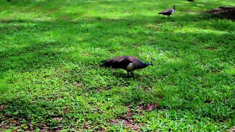 A female peacock, called a peahen, during daily walks over green grass in the park.