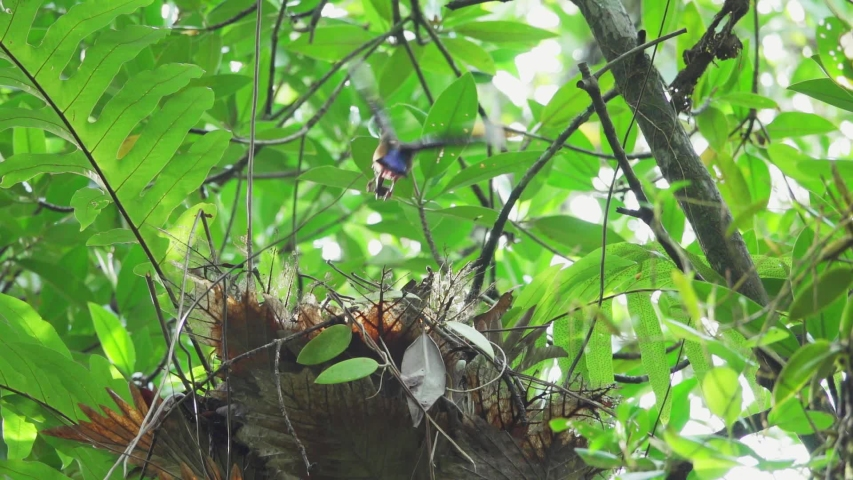 Mangrove pitta bird flying high into the nest on Rhizophora tree with crab for feeding their new born babies in breeding season ,hd slow motion video.  Pitta feeding babies in the nest,low angle view.