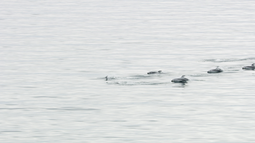Aerial view of swimming Dalls Porpoises identified by there black backs and white belly found in North Vancouver Island Pacific ocean RED WEAPON | Shutterstock HD Video #1032147203