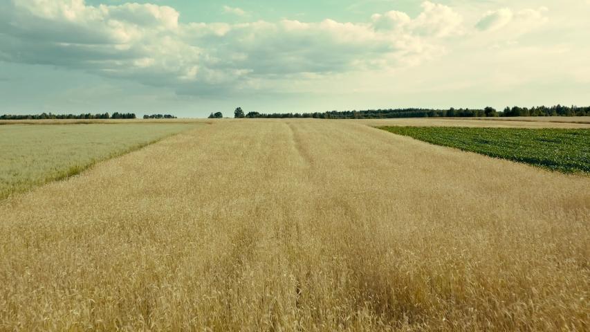Wheat field. Golden ears of wheat on the field. Wheat field top view. Camera flies forward over the spikelets. The wind swings the harvest of grain crops. | Shutterstock HD Video #1032384773