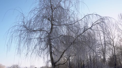 Willow Tree In Winter Stock Video Footage 4k And Hd