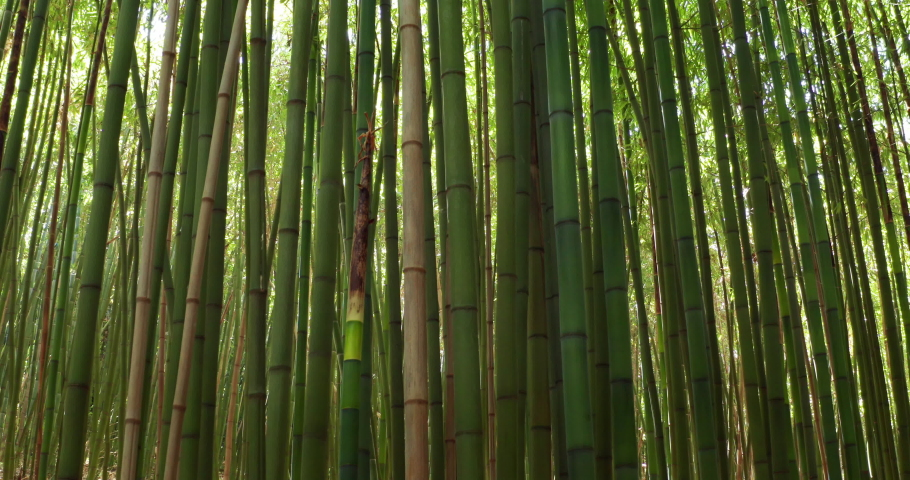 Close up of scenic bamboo tree forest used as renewable sustainable energy resource and different  types of eco -friendly green products. | Shutterstock HD Video #1032602093