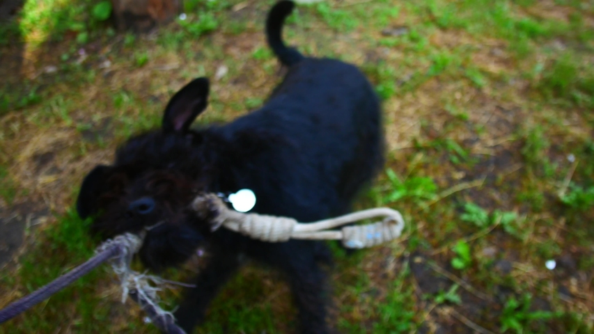 Black dog played with rope, first person view | Shutterstock HD Video #1033044323