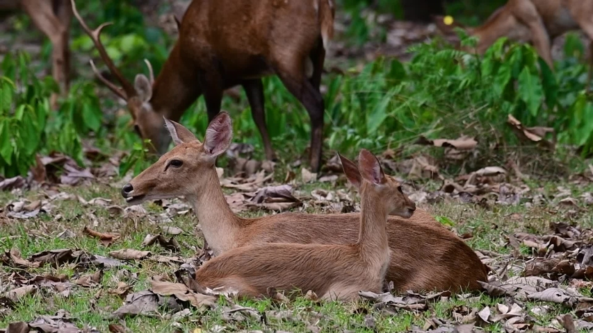The Eld's Deer is an Endangered species due to habitat loss and hunting;  | Shutterstock HD Video #1033275203