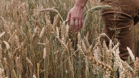 Slow motion shot of a female farmer's hand touching ripe wheat ears. Harvesting. Natural farming.
