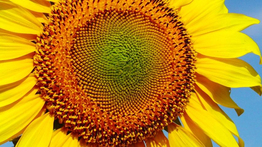 Sunflower flower against the sky, close-up. Ukraine   Shutterstock HD Video #1033364093