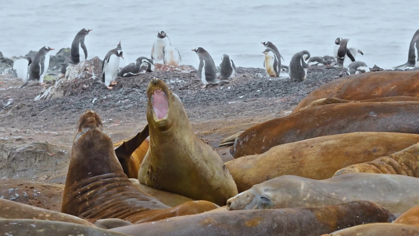 ANTARTICA - CIRCA 2018 -Antarctica Elephant Seals Livingstone Island fighting in a mating standoff. | Shutterstock HD Video #1033382903