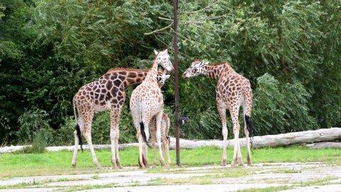 Rothschild Giraffe grazing on some tree leaves