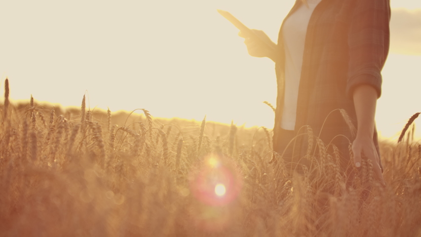 Young woman farmer in wheat field on sunset background. A girl plucks wheat spikes, then uses a tablet. The farmer is preparing to harvest. #1035077423