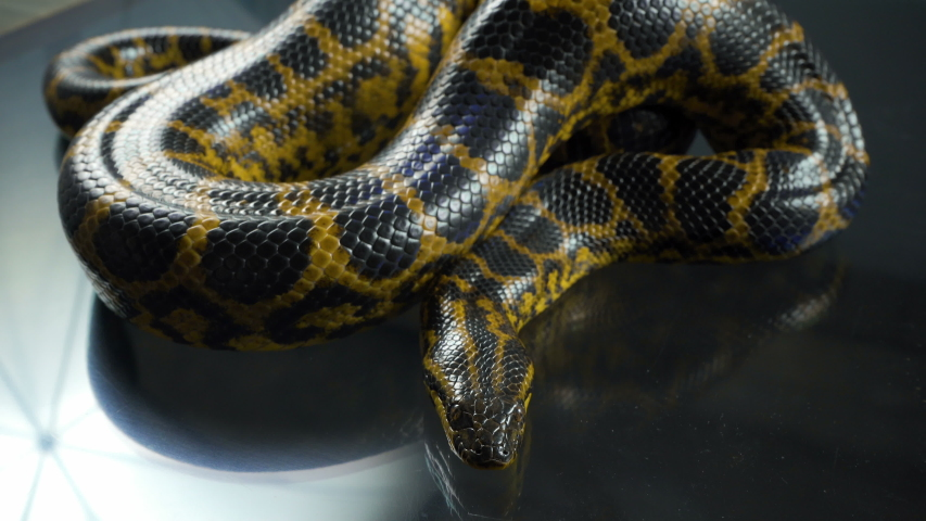 Video of breathing yellow anaconda with head #1035165203