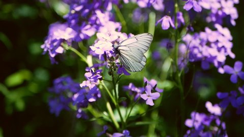 White butterfly sits on blooming lilac blue flower. Cabbage butterflies on lilac blue flowers. White butterflies fly near Hesperis matronalis Dame's Rocket