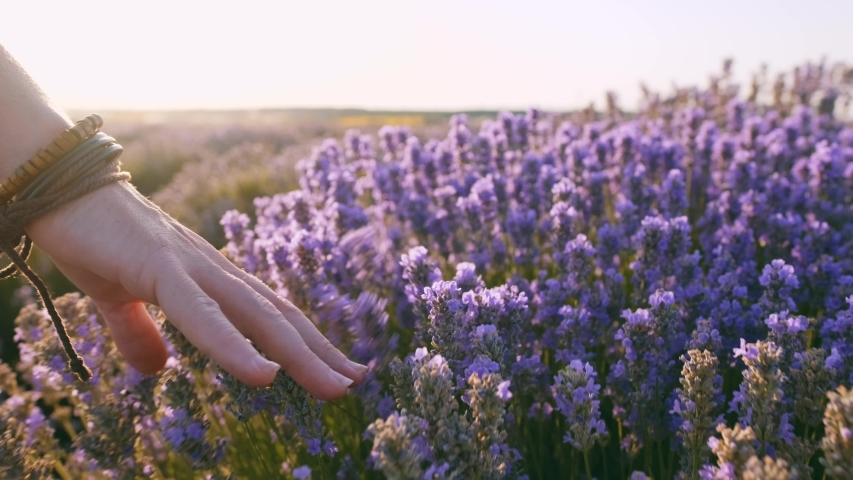 Slow motion view of a field of large bushes of lavender and lilac flowers. The hand of a young woman tenderly holds the lavender flowers the backdrop summer sunset. The sun's rays are purple plant | Shutterstock HD Video #1035208523