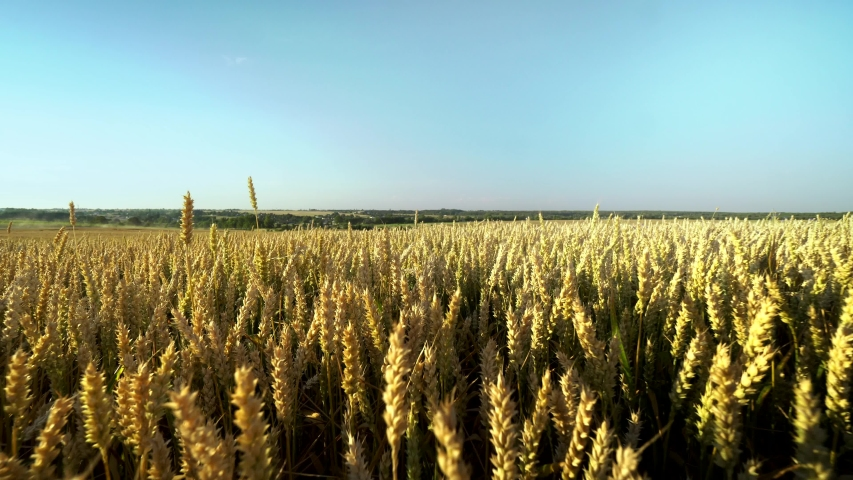 Wheat field. Golden ears of wheat on the field. Background of ripening ears of meadow wheat field. Rich harvest. Agriculture of natural product.   Shutterstock HD Video #1035338603