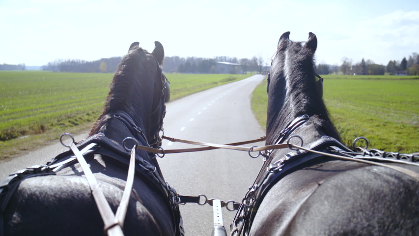 Coachmen POV of two Friesian horses walking on the road. Long shot of two black horses in focus view from behind strapped to carriage walk on the long road.