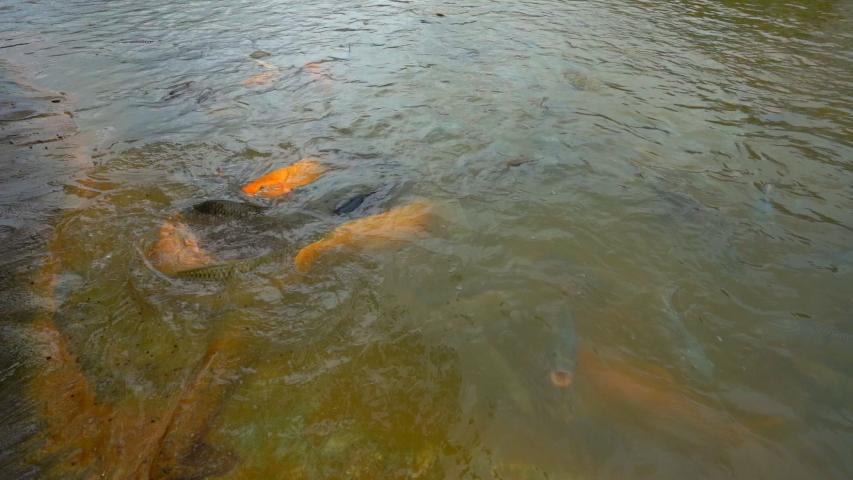 Slow motion feeding tilapia fish in pond    Shutterstock HD Video #1035429593
