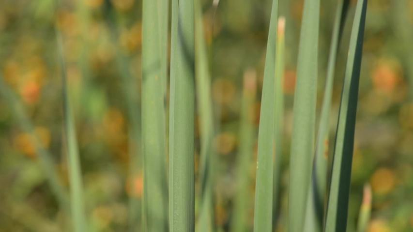 Cattails in a marsh in New Brunswick, Canada | Shutterstock HD Video #1035439223