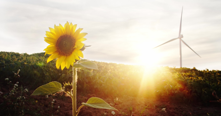 In beautiful rural field wind turbines rotating under sunset. Focus on lovely sunflower in bright sunlight. Alternative source of energy. Ecology concept.   Shutterstock HD Video #1035557543