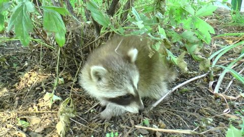 Raccoon, or American raccoon (Procyon lotor) - a predatory mammal from the raccoon family. Thriving in the wild and in cities and villages. Very caring parents.