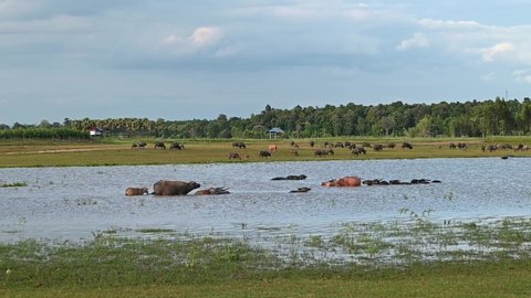 Group of Buffalo crowd walking and eating green grass in river.
