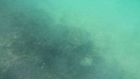 Underwater video scene with a green sea turtle moving on a shallow coral reef at Isle Signal in New Caledonia, French Polynesia, South Pacific Ocean.