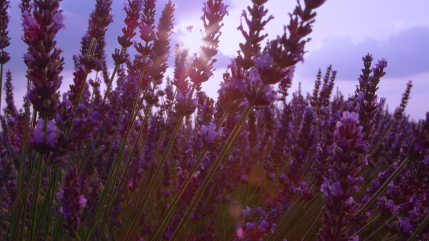 CLOSE UP, SLOW MOTION, SUN FLARE, DOF: Scenic view of an aromatic purple lavender shrub in sunny Provence. Golden summer sun rays shine of a beautiful purple lavender blossoming in French countryside | Shutterstock HD Video #1035995423