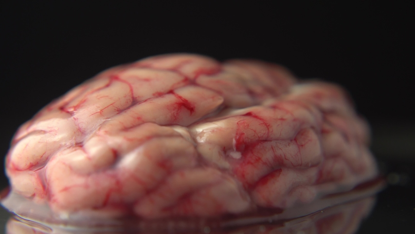 Reserved animal brain in surgery or surgeon metal plate table in scientific veterinary laboratory, close up. Real anatomy prop closeup. Psychology of mood and depression study. | Shutterstock HD Video #1036014773