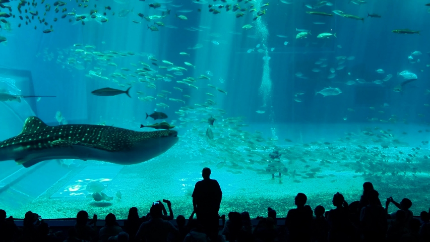 22/7/2019 , Whale sharks swimming through water inside the massive Kuroshio Tank in Churaumi Aquarium, Motobu, Okinawa island , Japan.    | Shutterstock HD Video #1036029473