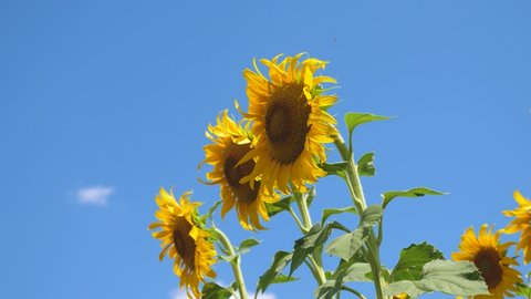 field of yellow sunflower flowers against a background of clouds. A sunflower sways in the wind. Beautiful fields with sunflowers in the summer. Crop of crops ripening in the field.