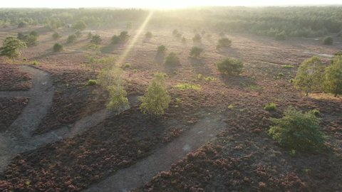 Heather by sunset, Veluwe, The Netherlands, Drone