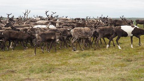 A herd of reindeer in the tundra in the summer on the Yamal Peninsula, close-up. Western Siberia, Russia. around.