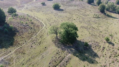 4k aerial video of flowering heath focusing on group of trees while pitching down