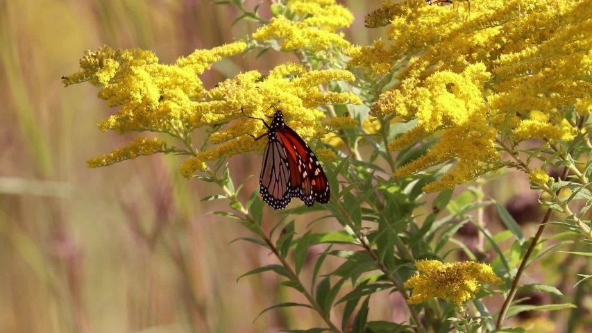 Monarch butterfly resting on the golden rod in the Illinois prairies  | Shutterstock HD Video #1036659173