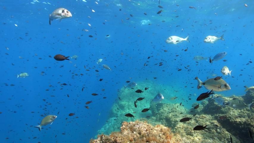 Many fish underwater in the Mediterranean sea, France, Occitanie, Pyrenees-Orientales, 59.94fps | Shutterstock HD Video #1036839443