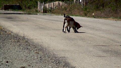 La Mula, Santiago,  /Cuba- january 8, 2019:  Goat fight on the  road.