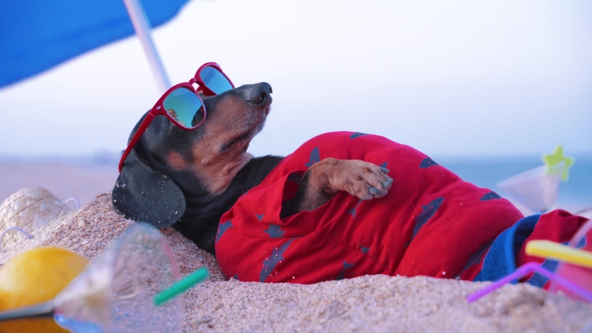 Cute fat dog of dachshund, black and tan, lies sunbathing at the beach sea on summer vacation holidays, wearing red sunglasses with coconut cocktail