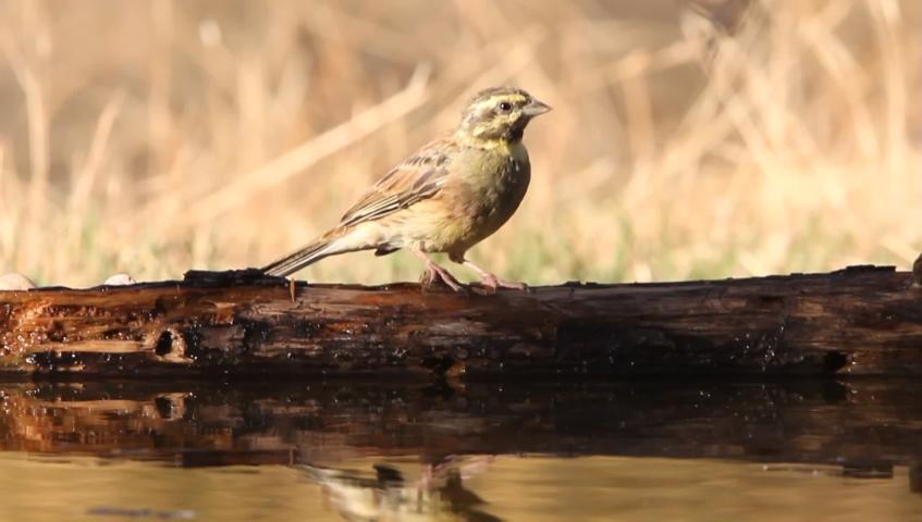 Cirl bunting, Emberiza cirlus, birds, animals | Shutterstock HD Video #1037195153