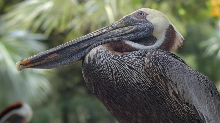 Pelican resting closeup and jostling about | Shutterstock HD Video #1037277233