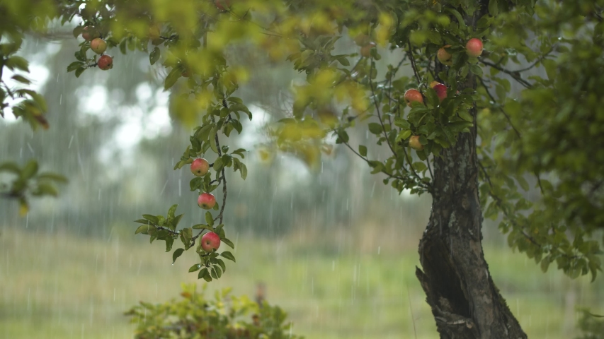 Hail storm over apple trees with strong wind | Shutterstock HD Video #1038221093