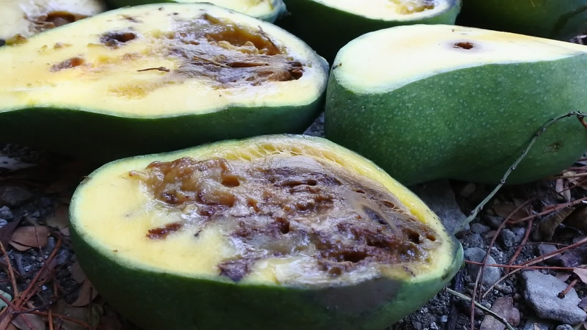 Rotten mangoes that have been partly cut apart | Shutterstock HD Video #1038571733
