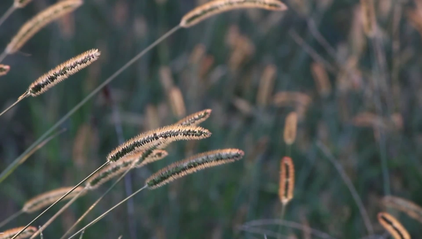 Swaying foxtails in the field in the evening  | Shutterstock HD Video #1038733013