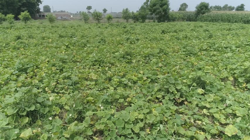 Drone video footage of Butternut plants field  stock video footage