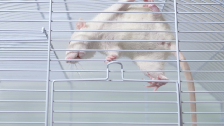 White rat in a cage. home pet. animal symbol of the year on the Chinese calendar. | Shutterstock HD Video #1039107143